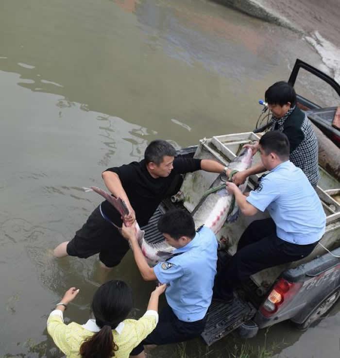 警员及渔政人员合力将搬运野生中华鲟。