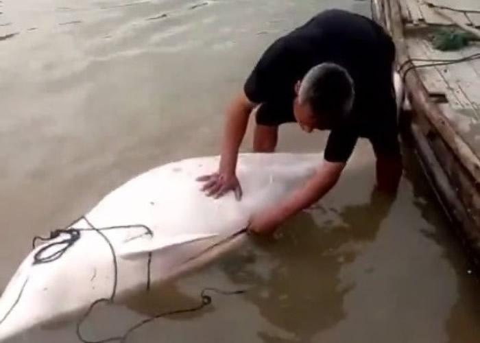福建渔民宰杀中华白