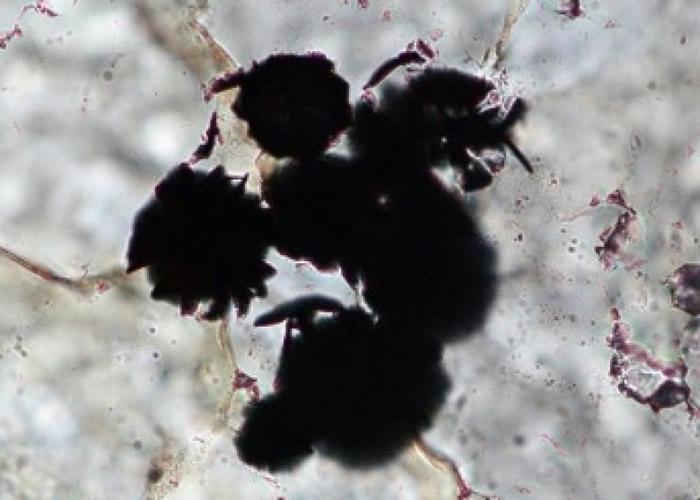 石头的石墨粒相信来自单细胞植物。