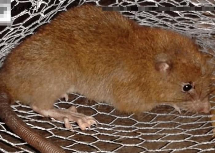莱弗里在旺乌努岛发现该新品种巨鼠。