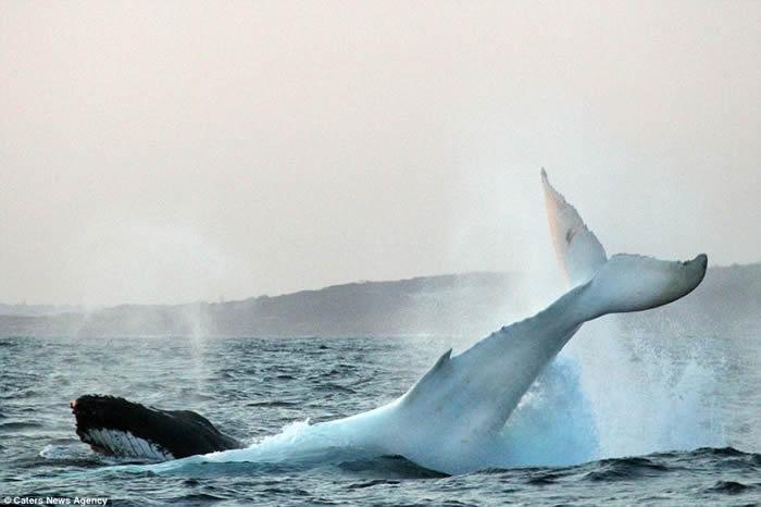 全球唯一白色座头鲸再现澳洲海域