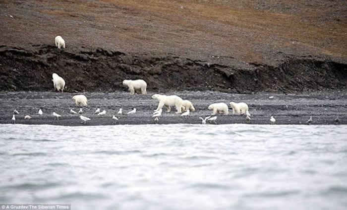 占全球总数1%的北极熊聚集在俄罗斯弗兰格尔岛分享鲸鱼尸体 山上满是白点