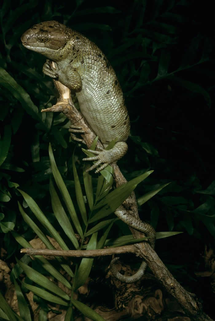 所罗门石龙子(Solomon Islands skink)也被称为猴尾蜥,它们有着一些与普通爬虫类不太一样的行为。 PHOTOGRAPH BY ZIGMUND