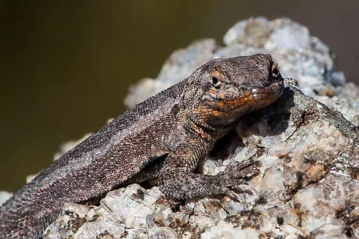 一只位于加州南部的侧斑鬣蜥,这类最具侵略性的蜥蜴是属于橙色类别。 PHOTOGRAPH BY KENT KOBERSTEEN, NATIONAL GEOGRAP