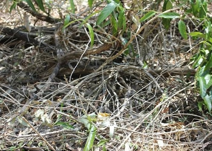 眼镜蛇隐藏在枯枝中。