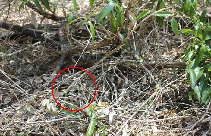眼镜蛇其实就在相片中间左侧的地方。