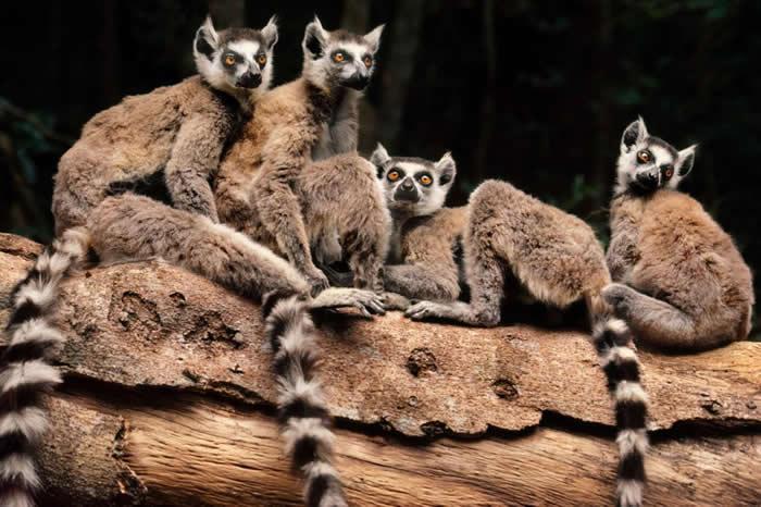 马达加斯加的环尾狐猴在森林里发出一系列声音来沟通。 PHOTOGRAPH BY FRANS LANTING, NATIONAL GEOGRAPHIC CREAT