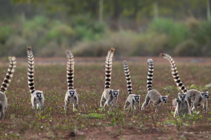 研究人员发现位阶低的公环尾狐猴,会发出较多声音和猴群保持紧密联系。 PHOTOGRAPH BY CYRIL RUOSO, MINDEN PICTURES, NA