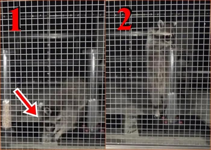 浣熊从水管旁捡起石块(红箭头示),并将之放进水管(图2)。