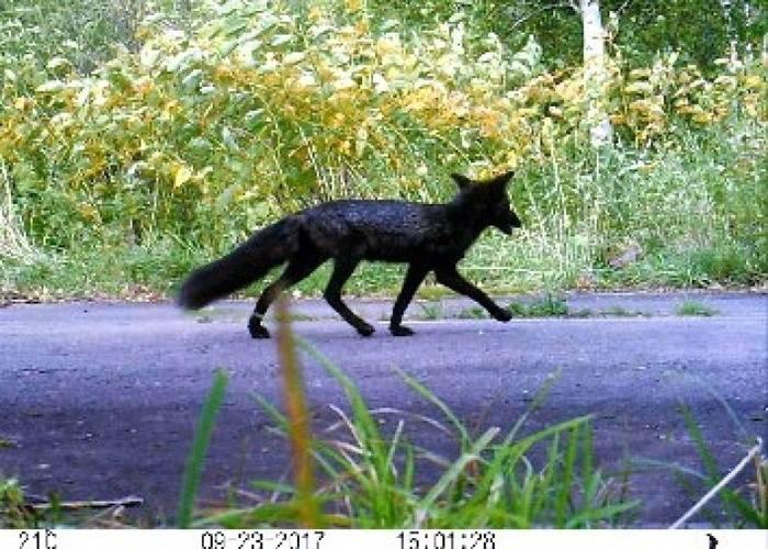 北海道早前出现黑色北狐。