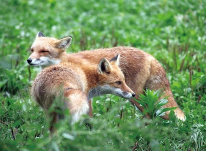 北狐的毛色普遍是淡啡色。