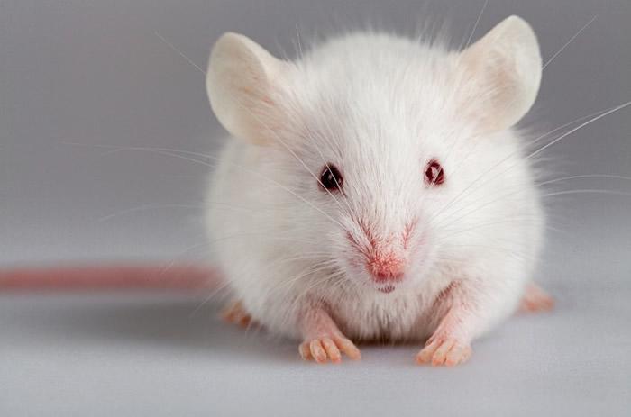 在小鼠中剖腹产与微生物菌群发育差及体重增加快相关联