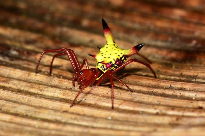 Micrathena sagittata蜘蛛身上的明亮色彩,似乎能帮蜘蛛引诱猎物,外侧的刺则能充当防御机制。 PHOTOGRAPH BY JONATHAN KO