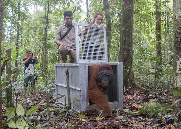 猩猩回归大自然。