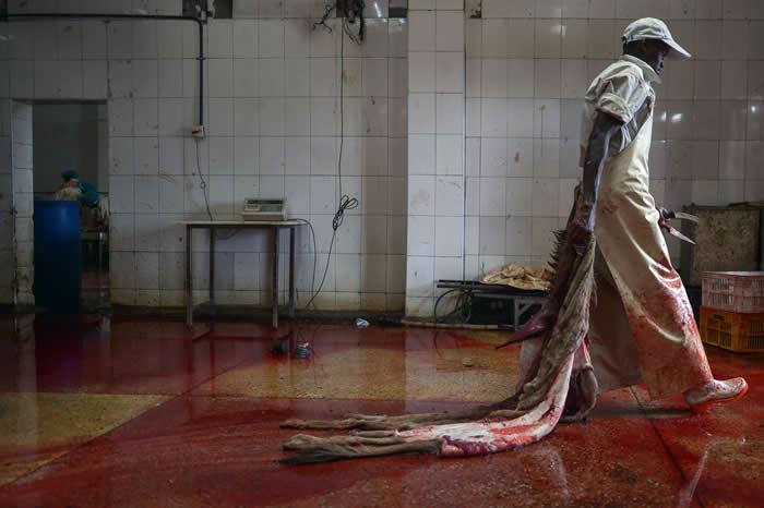 中国将驴皮用于制作传统药物,但因为该国的驴子数量不足,所以提高从国外进口驴皮的数量。这里是肯亚一间已获许可的驴子屠宰场,一名工人拖着一张将要处理的驴皮。 PHO