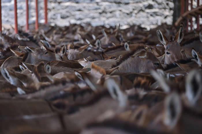 六个非洲国家已关闭屠宰场,试图遏止驴皮出口,但其他国家仍维持大规模的驴皮出口,如本照片所摄。 PHOTOGRAPH BY TONY KARUMBA, AFP/G