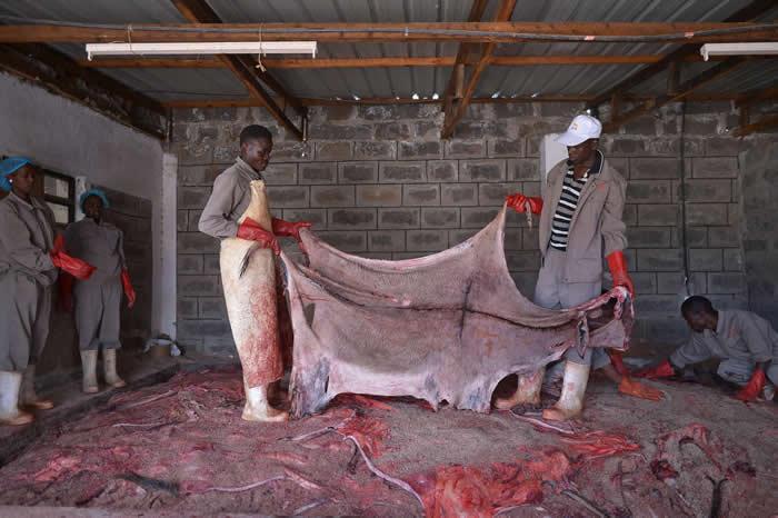 在肯亚一间已获许可的屠宰场里,工人准备处理一张驴皮。因为其他国家关闭屠宰场,加上驴皮需求增加,所以地下交易更为活跃。 PHOTOGRAPH BY TONY KA