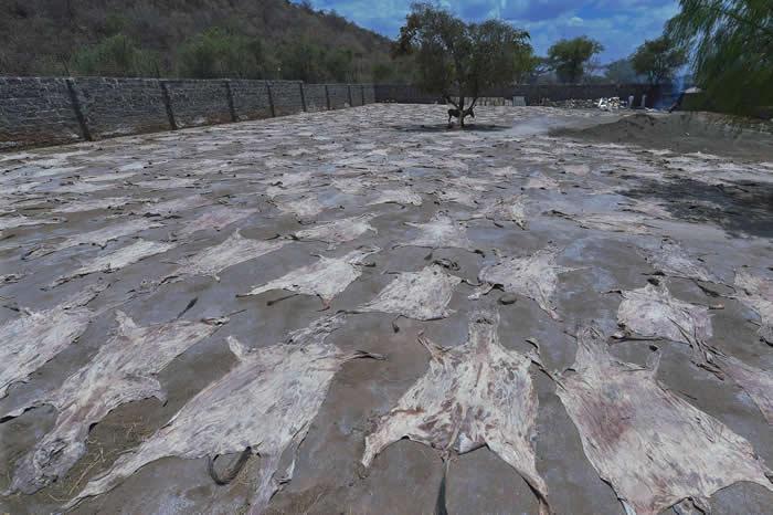 在肯亚一间已获许可的屠宰场里,驴皮在太阳下晒干,同时有一头驴子在树荫下望着这些驴皮。另一方面,南非大部分的驴皮交易都转为地下活动,野生动物走私犯购买驴皮,然后走