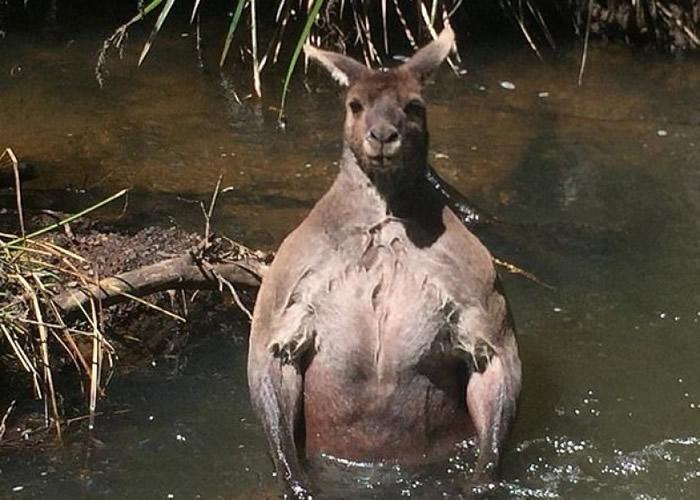 澳洲袋鼠洗澡被偷拍 愤怒展现一身肌肉