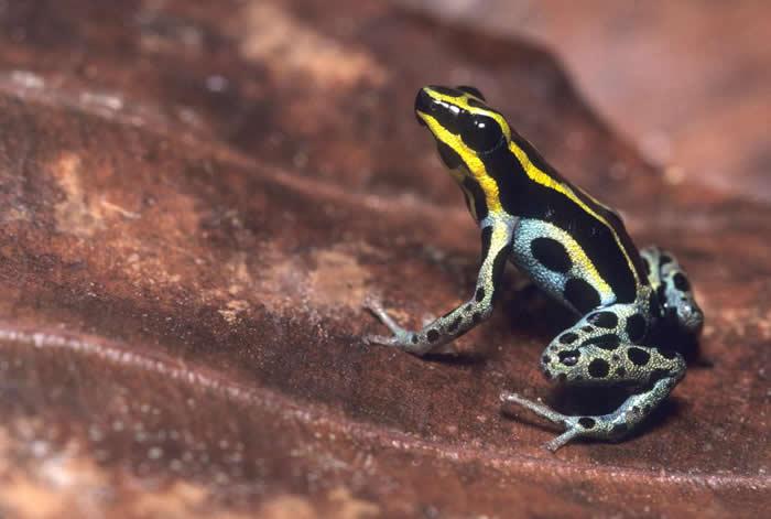 五线箭毒蛙(Adelphobates quinquevittatus)坐在雨林地上的一片叶子上。也有人称它为亚马逊箭毒蛙或玛代拉河箭毒蛙。 PHOTOGRAPH