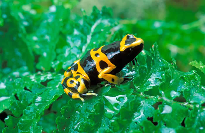 黄带箭毒蛙(Dendrobates leucomelas)身上的花纹,每一只个体都不太一样。这种毒蛙的叫声也很响亮。 PHOTOGRAPH BY AUSCAPE