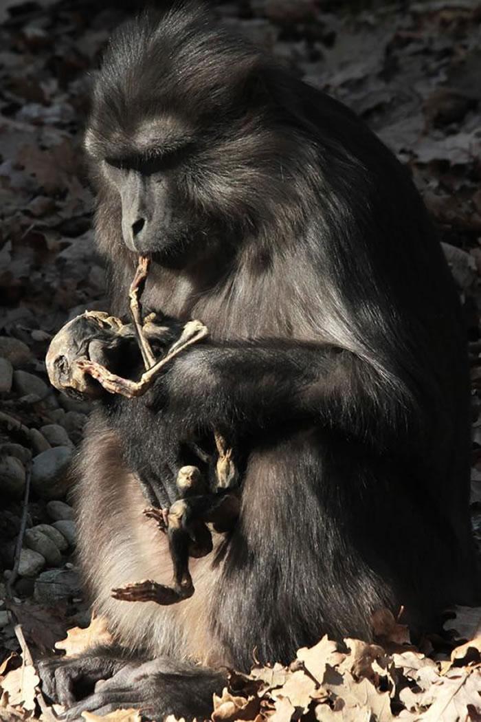 艾瓦琳小口啃着干缩的幼猴尸体。 PHOTOGRAPH BY ARIANNA DE MARCO