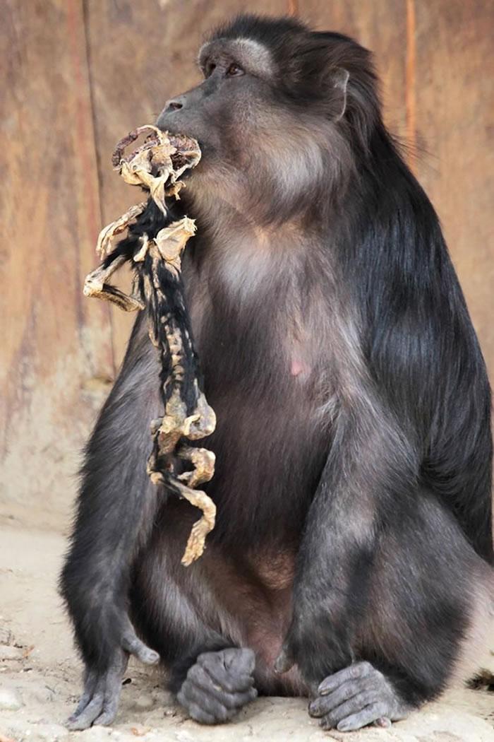 许多灵长类会带着幼儿尸体好几天,但很少会吃掉幼儿尸体。 PHOTOGRAPH BY ARIANNA DE MARCO