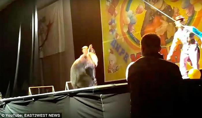 俄罗斯马戏团棕熊演出时攻击人 惨遭工作人员棒打