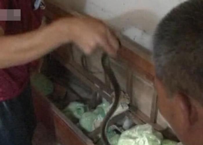 覃男承认私养60多条眼镜蛇。
