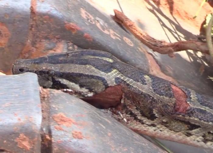 由于蟒蛇头部有伤,村民通知有关部门将其带走。