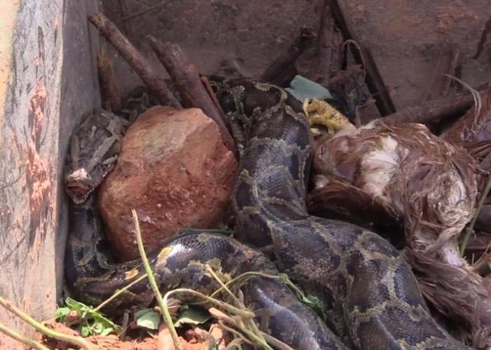 村民在进行挖掘工程期间,发现一条长约3米的大蟒蛇。