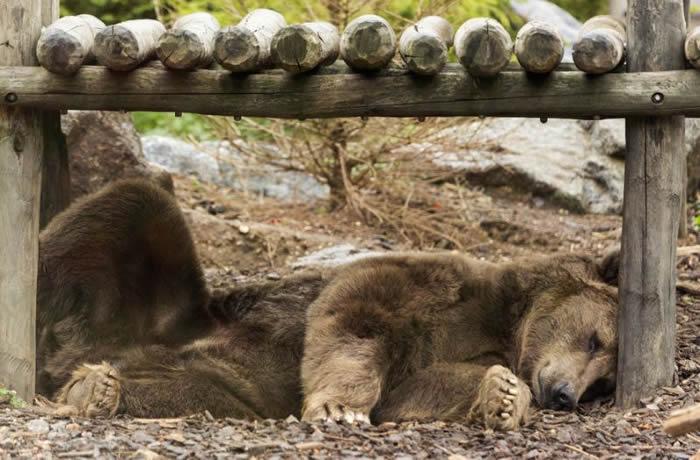 俄罗斯远东地区粮食来源日益稀少 库页岛惊传出现饿熊吃人事件