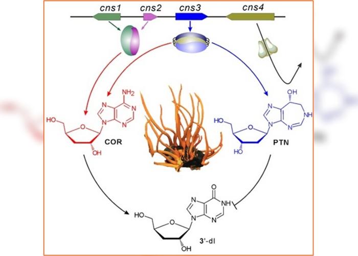 """蛹虫草中的基因簇同时合成虫草素和""""喷司他丁""""。"""