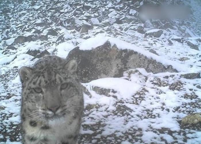 红外线相机拍下雪豹的照片。