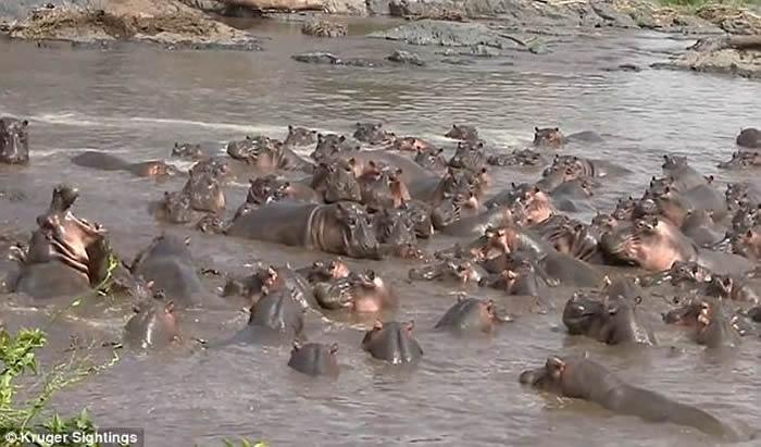 非洲坦桑尼亚塞伦盖蒂国家公园鳄鱼单枪匹马突袭河马宝宝 惨遭30多头河马围攻
