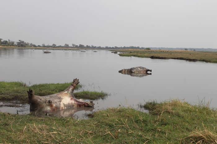 两头死亡的河马躺在池塘里,一头四脚朝天,一头侧身倒卧。当局怀疑,河马突然死亡的元凶可能是炭疽病。 PHOTOGRAPH BY NEW ERA PUBLICATI