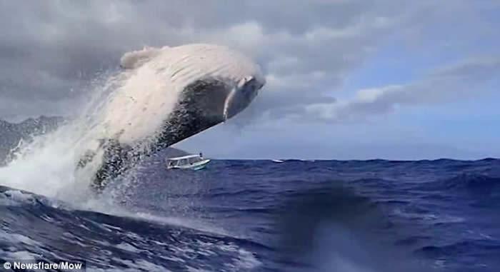 法属玻利尼西亚座头鲸近距离跃水面 给潜水人士惊