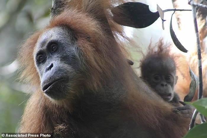 印尼苏门答腊岛北部发现新品种红毛猩猩:塔巴努里猩猩