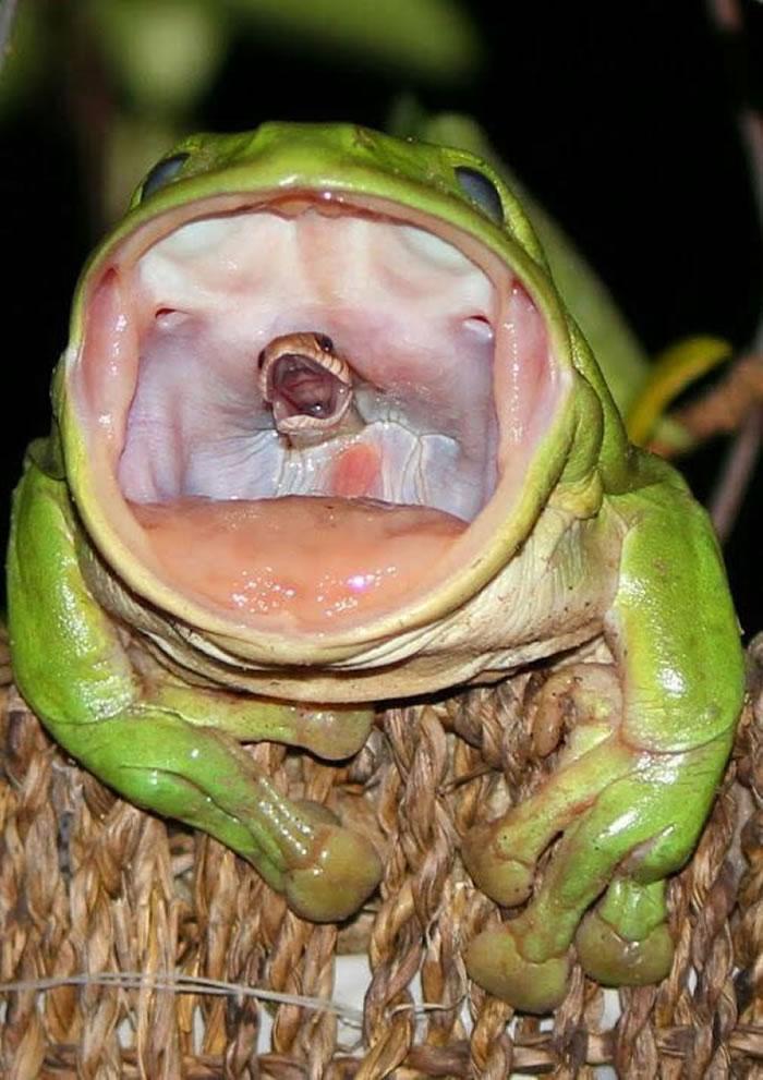 堕入深渊前的最后尖叫:蛇用最后一口气设法从肉食性白氏树蛙的喉咙里望出去