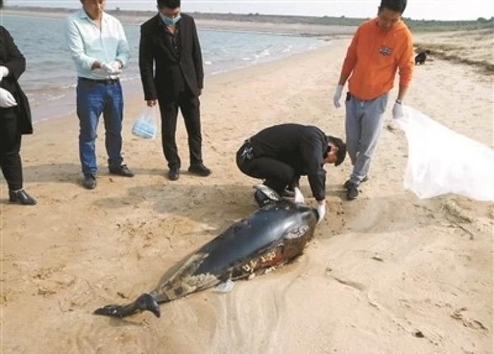 一只长江江豚伏尸在江西都昌县一个沙滩上。