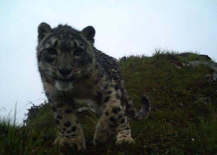 小雪豹时而呆望镜头,时而舔向相机屏幕,模样可爱。