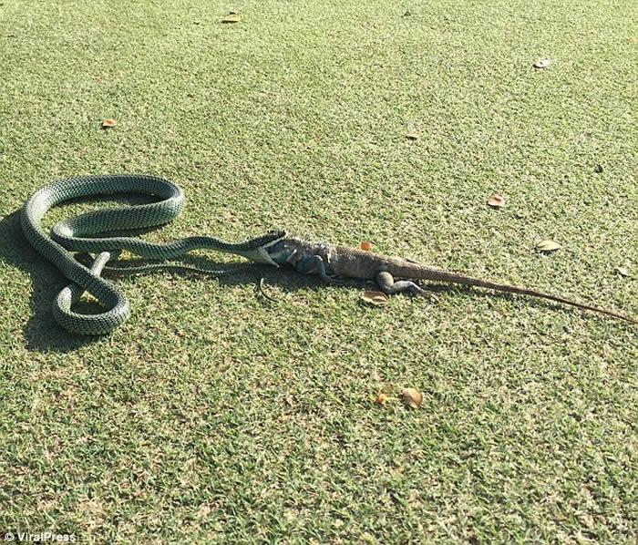 泰国曼谷高尔夫球场金花蛇吞鬣蜥