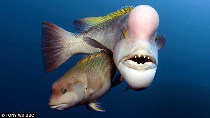英国BBC自然生态纪录片《蓝地球》:太平洋发现变性亚洲羊头濑鱼