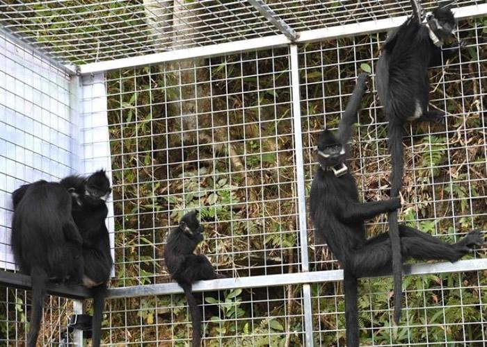 5只人工繁殖的黑叶猴被带到大明山保护区野放。