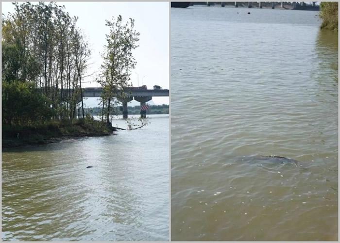 经多次搁搁浅后,江豚成功游回江中,并消失眼前。