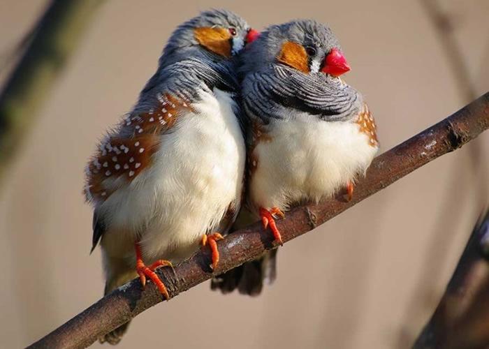 斑胸草雀会以情歌求偶。