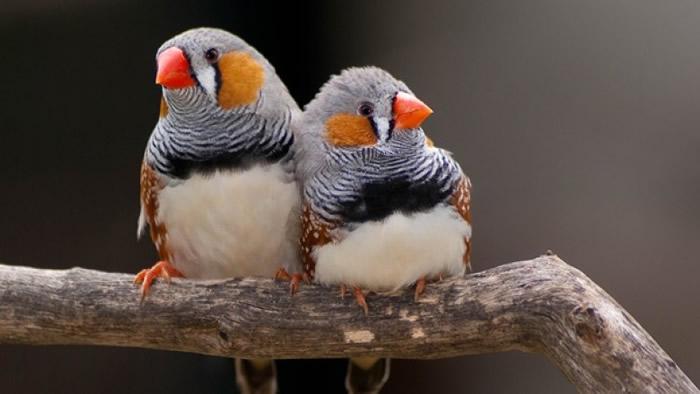 斑胸草雀的歌声非常悦耳。