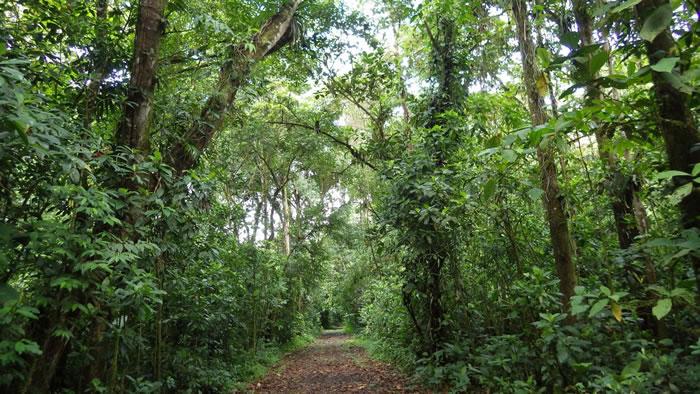一条小径将一大片有32年之久的自然再生森林一分为二,那里原为放牛牧场;它坐落于哥斯达黎加东北的拉塞尔瓦生物站(La Selva Biological Stati