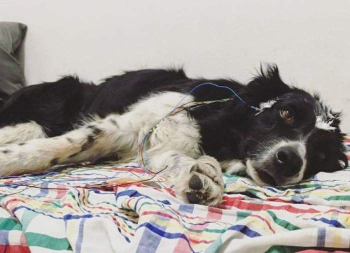 研究人员用机器监测狗只的脑电波。