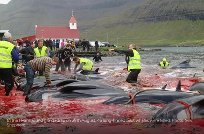 北欧法罗群岛大规模猎杀鲸豚 血染大海屠场